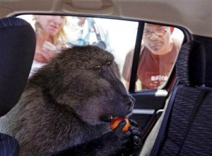 Fred the Baboon gets the chop