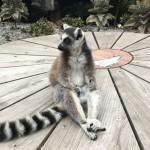 Lemur at Melbourne Zoo